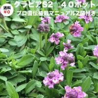 クラピアS2(紫桃)9cmポット40鉢セット雑草対策グランドカバー送料無料K5よりも成長が早い