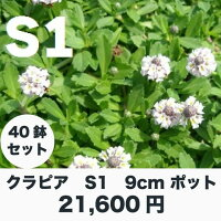 クラピアS1(白色)9cmポット40鉢セット雑草対策グランドカバー送料無料K5より成長が早い