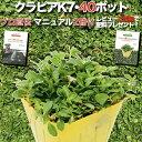 クラピア K7 9cmポット苗 40鉢セット 完全植栽マニュアル付き 新品種 白色 【レビュー特典あり】 雑草対策 グランドカ…