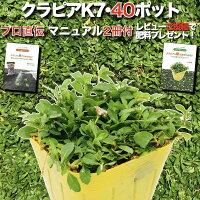 クラピアK7(白)9cmポット40鉢セット雑草対策グランドカバー送料無料