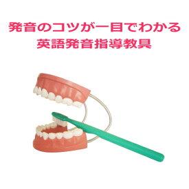 【デンタルモデル大型歯ブラシ付】歯磨き指導用歯科模型。歯の模型。歯おもちゃ。歯型。大きい英語発音指導教材教具。韓国語、中国語、フランス語発音指導におすすめ!