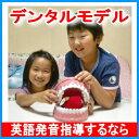 【送料無料】楽天ランキング2部門1位で激売れ!【デンタルモデル大型歯ブラシ付】歯磨き指導用歯科模型。歯の模型。歯おもちゃ。歯型。大きい英語発音指導教材教具。韓国...