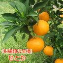【追加販売】≪数量限定≫ せとか 2.5kg サイズ混合 ご家庭用 少し 訳あり 柑橘類の王様! みかんの大トロ! 春 みかん オレンジ 送料無料