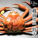越前ガニ(特大)献上級・福井県産越前がに・蟹約1.3〜1.5kg×1杯【ずわいがに・蟹】