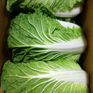 【箱売】愛知県産白菜 6〜8玉入り 約13〜15kg まとめ買い 国産 サラダ 鍋