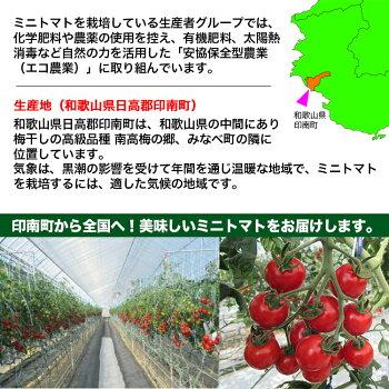 【送料無料】【ミニトマト】優糖星(ゆうとうせい)約300g×5パック入りフルーツ感覚!