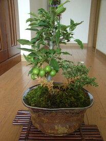 盆栽【送料無料】【香丁木】 【姫りんご】【寄せ植え】【ギフト】