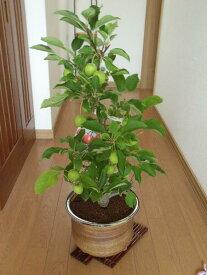 家庭果樹を楽しむ縁起の良い名前の 長寿紅りんご鉢植え:【りんご】【長寿りんご】