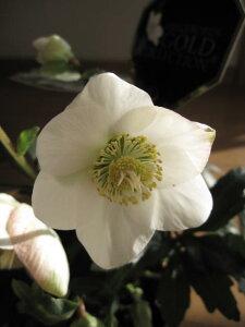 【鉢植え】 【クリスマスローズ】 ホワイト