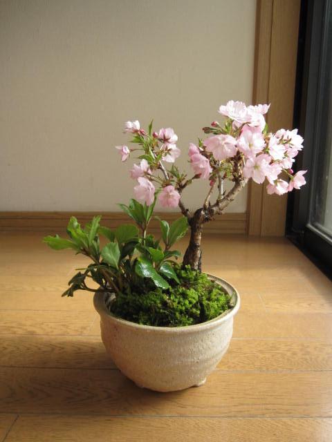 桜盆栽盆栽:桜盆栽と クリスマスローズの寄せ植え2019年花芽付の桜盆栽となります。【