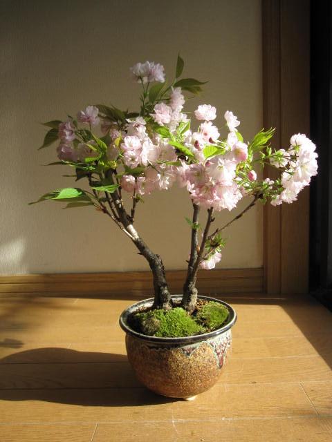 2018年4月中頃に開花送料無料八重桜桜盆栽楊貴妃桜盆栽ツイン桜盆栽信楽鉢入り お届けは4月中頃開花の桜盆栽となります。