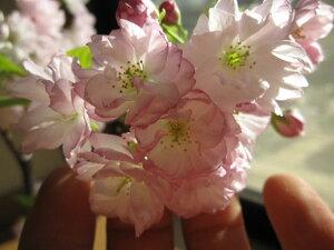 八重桜盆栽2015年春開花楊貴妃桜盆栽八重桜盆栽信楽鉢入り桜盆栽桜のお花は人を笑顔にする力があります。淡紅色の優雅で美しい桜八重桜サクラ盆栽【八重桜】2014年1月中頃お届け予定