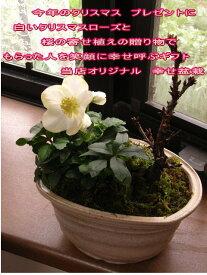 2018年クリスマスのプレゼントに盆栽:桜と クリスマスローズの寄せ植え冬の贈り物ギフト 【送料無料】
