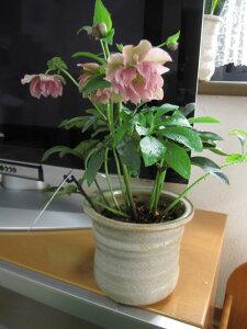 【送料無料】  【鉢植え】 【クリスマスローズ】ピンク八重予約販売対象 お届けは 二月より