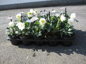2020年11月下旬よりお届けいたします。冬に咲く白い花【クリスマスローズいっぱい 10個セット】クリスマスローズ  ニゲルF1マリアクリスマスローズのお庭に送料無料でお届けいたします。