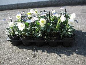 冬に咲く白い花【クリスマスローズのお庭に  20個セット】クリスマスローズ  ニゲルF1マリアクリスマスローズのお庭に送料無料でお届けいたします。