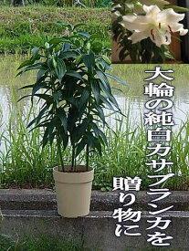3本仕立 2021年開花終了後の鉢植えカサブランカ育てて咲かすカサブランカ現三本仕立て開花まで育てて咲かすカサブランカ
