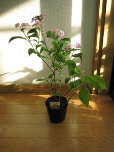 ヤマアジサイ:石鎚の光 紫陽花小苗 開花終了剪定後の状態でお届けとなります