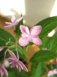 ヤマアジサイ:石鎚の光 紫陽花 小鉢入り