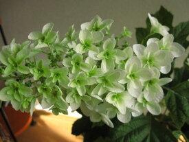 2020年6月に開花プレゼントにカシワバアジサイ山アジサイ 【紫陽花の鉢植】八重柏葉アジサイ