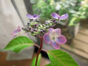 ヤマアジサイ: 紫紅梅  小苗