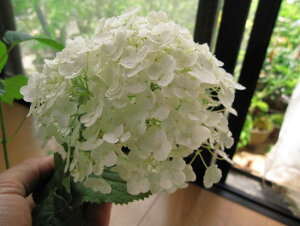 アナベルアジサイ  紫陽花苗 あじさい アナベル 7月以降のお届けは開花が終了しており、剪定した状態でのお届けになります