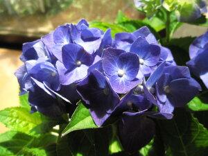 あじさい苗マリンブルーアジサイ 【紫陽花】大苗アジサイ苗 7月以降のお届けは、開花が終了しており、剪定後の状態でのお届けになります