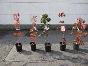 シンボルツリー 【庭木】 いろんなハナミズキとヤマボウシ  5本セット 五種類の  ハナミズキとヤマボウシ