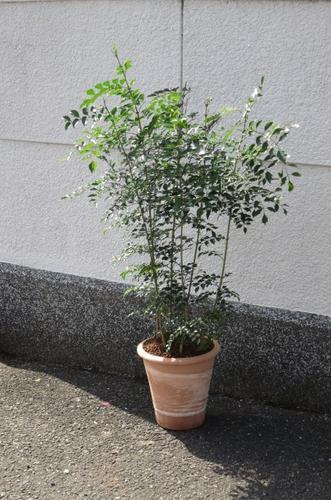 鉢植えとしても人気のシマトネリコ 【観葉植物】 シマトネリコ 【送料無料】