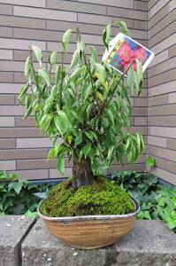 盆栽: 紅梅盆栽梅盆栽 香りと花の贈り物香りもお花も楽しめる 豪快に咲く紅梅