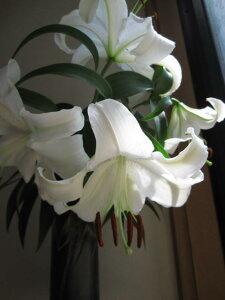 2021年母の日ギフト お届けは5月カサブランカプラ鉢植え贈り物に【ユリ】カサブランカ 鉢植  お届けの際5月末頃カサブランカは蕾の状態です