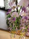 ギフト 育てる楽しみ藤盆栽2021年開花の藤盆栽となります。盆栽:【藤盆栽】 高貴な薄紫と香りの贈り物