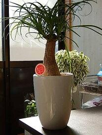 プレゼントにもおすすめポニーテール観葉植物トックリランノリナポニーテール贈り物にとても丈夫で育てやすい人気の観葉植物