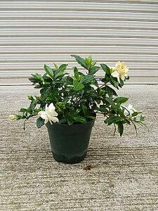 2021年クチナシのお花をプレゼントに5月開花予定苗とてもいい香りのギフト八重咲きクチナシポット苗  ギフト ガーデニア 八重咲きクチナシ 5号鉢 贈り物 プレゼント 花 鉢植え