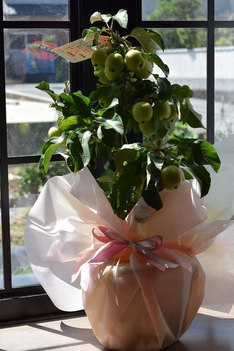 敬老の日ギフト2018年9月実付き鉢植りんご【家で手頃に果樹栽培りんご】【長寿りんご】10月〜12月頃実が赤くなりプレゼントや誕生日のプレゼントに