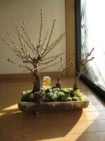大福寿紅白彩盆栽:豪華彩盆栽セット贈り物盆栽信楽鉢入り