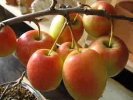 鉢植:【りんご】【長寿りんご】【送料無料】