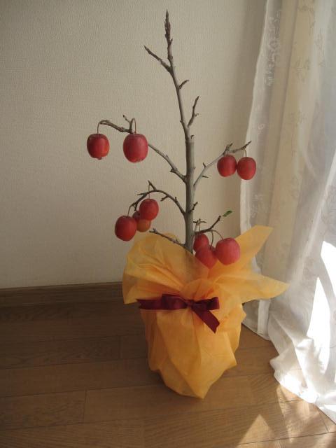 鉢植りんご:【家で手頃に果樹栽培りんご】【長寿りんご】【送料無料】