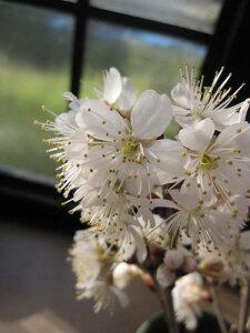 母の日プレゼントに2021年5月に開花おススメ鉢植:さくらんぼ 暖地さくらんぼ 【サクランボ】 サクランボは食べれます。