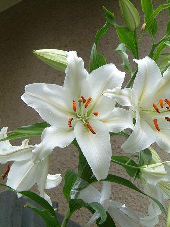 母の日ギフト用2019年お届けは5月末頃開花カサブランカ鉢植え【ユリ】カサブランカ 鉢植 純白で巨大輪の優雅な花。 蕾の数も多いカサブランカ  お届けの際カサブランカは蕾の状態です三本仕立て