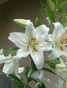 お誕生日の鉢花におすすめ2021年お届けは5月頃開花カサブランカプラ鉢植え【ユリ】カサブランカ 鉢植 純白で巨大輪…