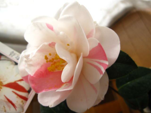 2019年3月頃開花予定【椿鉢植】 【ツバキ】古典椿 五色八重散椿