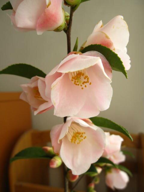 【鉢植】 【ツバキ】椿 春風春風のような優しい香りがする椿