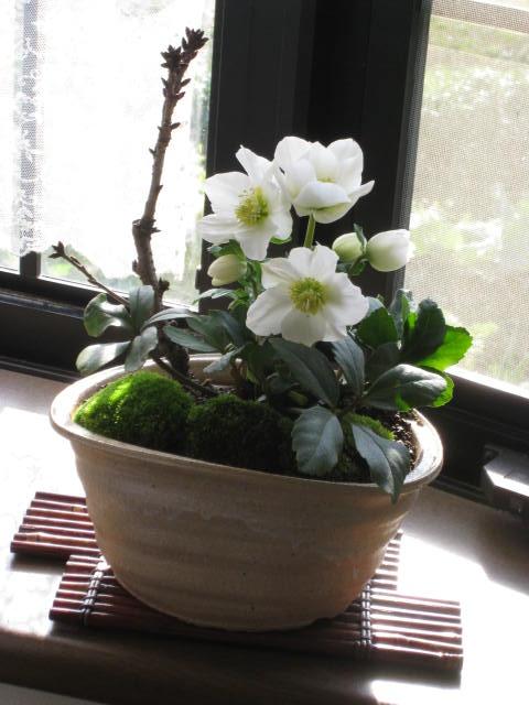 クリスマスプレゼントに【クリスマスローズ鉢植え】 【幸せギフト】盆栽:桜と クリスマスローズの寄せ植え