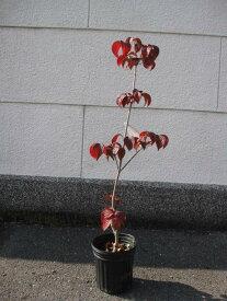 ヤマボウシ 苗シンボルツリー 【庭木】サトミ ヤマボウシ赤花