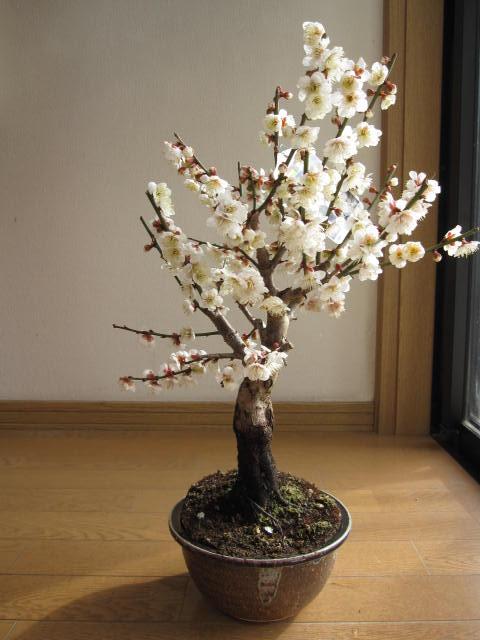 梅盆栽白梅盆栽開花時期は2019年2月頃です  ちなみに海外でも BONSAI ボンサイと言います。 玄関を彩る梅の花 盆栽梅  白梅