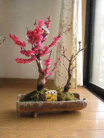 桜盆栽信楽鉢入り  梅盆栽 送料無料 2021年花芽付の桜盆栽となります。ちなみに海外でも BONSAI ボンサイと言います。