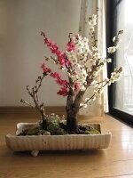 2015年紅白福寿桜盆ヒナ草寄せ植え寄せ植え盆栽信楽鉢入り送料無料ちなみに海外でもBONSAIボンサイと言います。【楽ギフ_包装】【楽ギフ_メッセ】