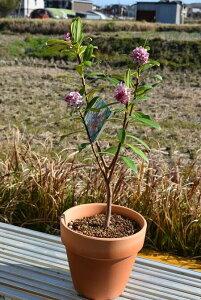 いい香りの【沈丁花 鉢植え】赤花 ジンチョウゲ 花の香り 毎年3月開花 自然の香水 三大香木 初心者向け 生垣
