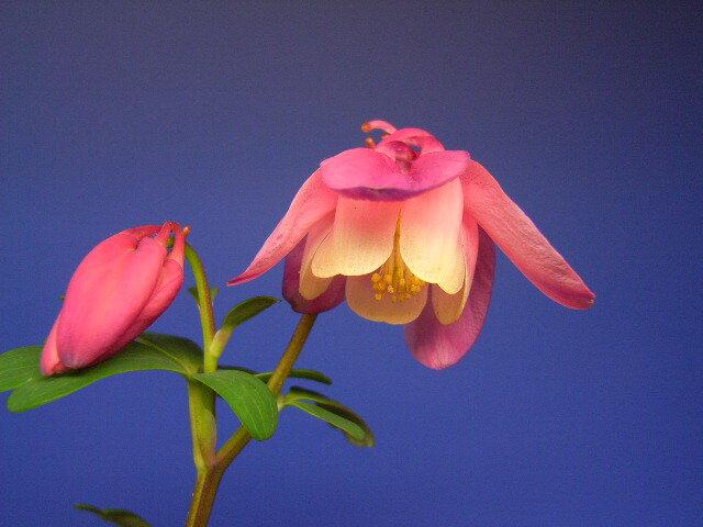 桃色オダマキ【山野草】